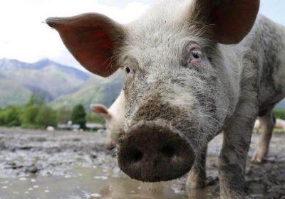 земляная свинья год свиньи